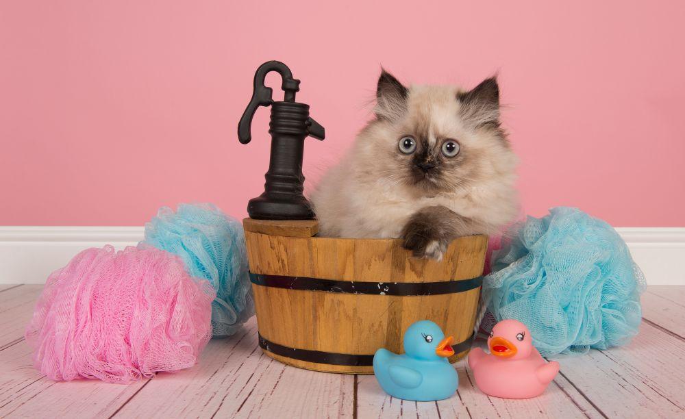 baie pisica persana