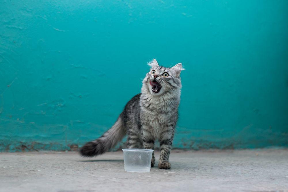 pisica nervoasa