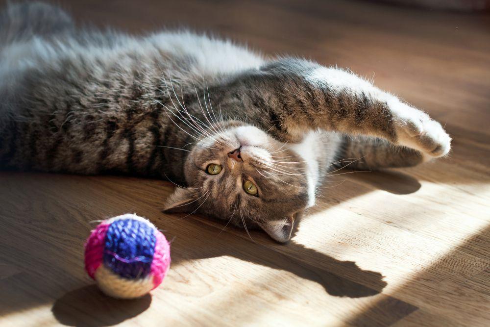pisica minge