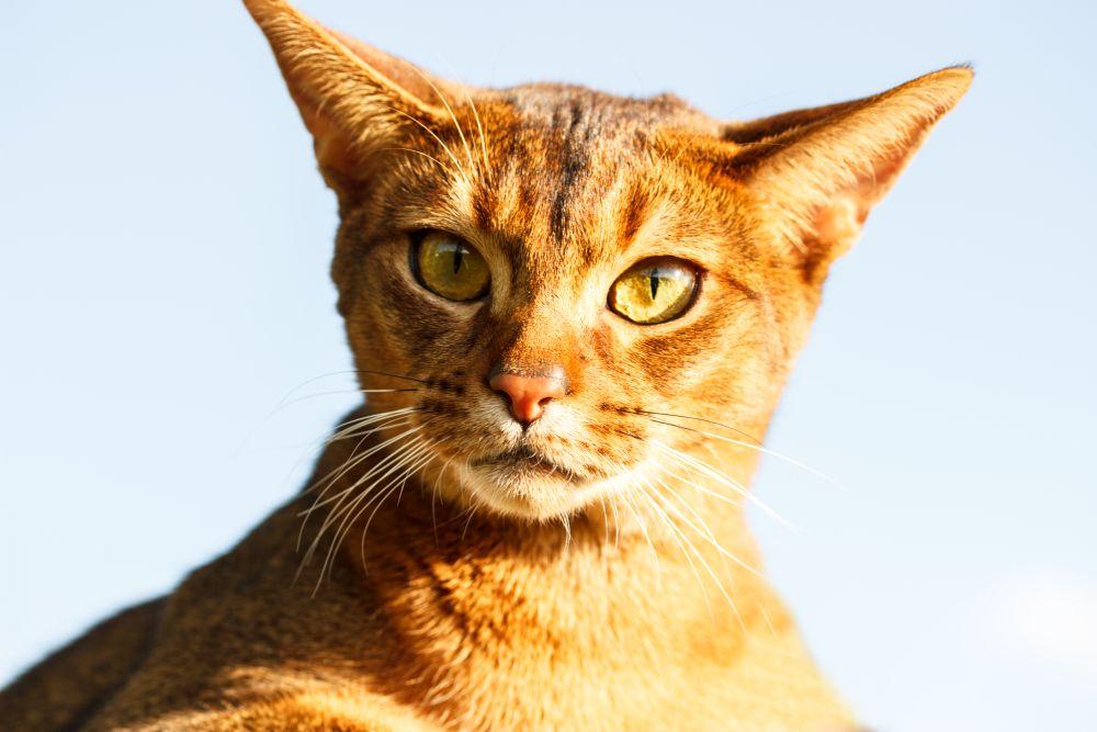 pisica abisiniana
