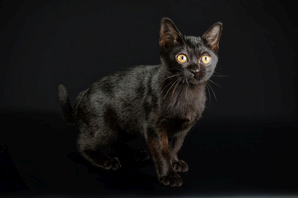 pisica bombay