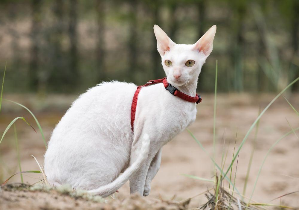 pisica cornish red