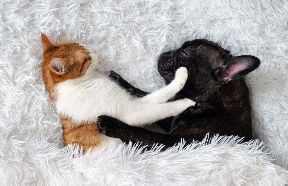 caine si pisica