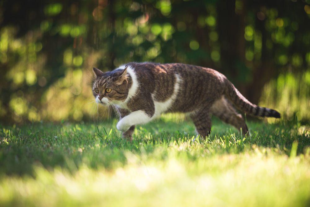 pisica la vanatoare