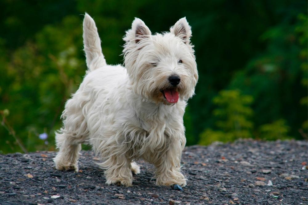 West Highland White