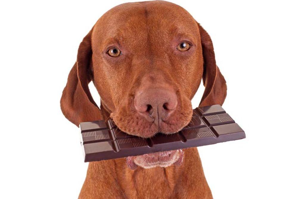 ciocolata caine