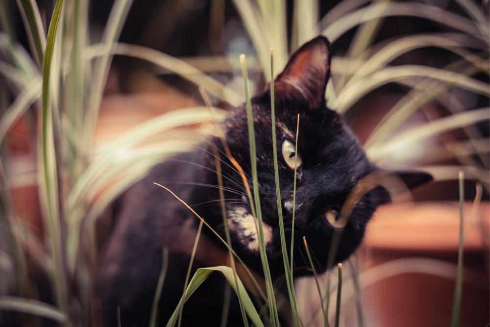 pisica neagra vargata
