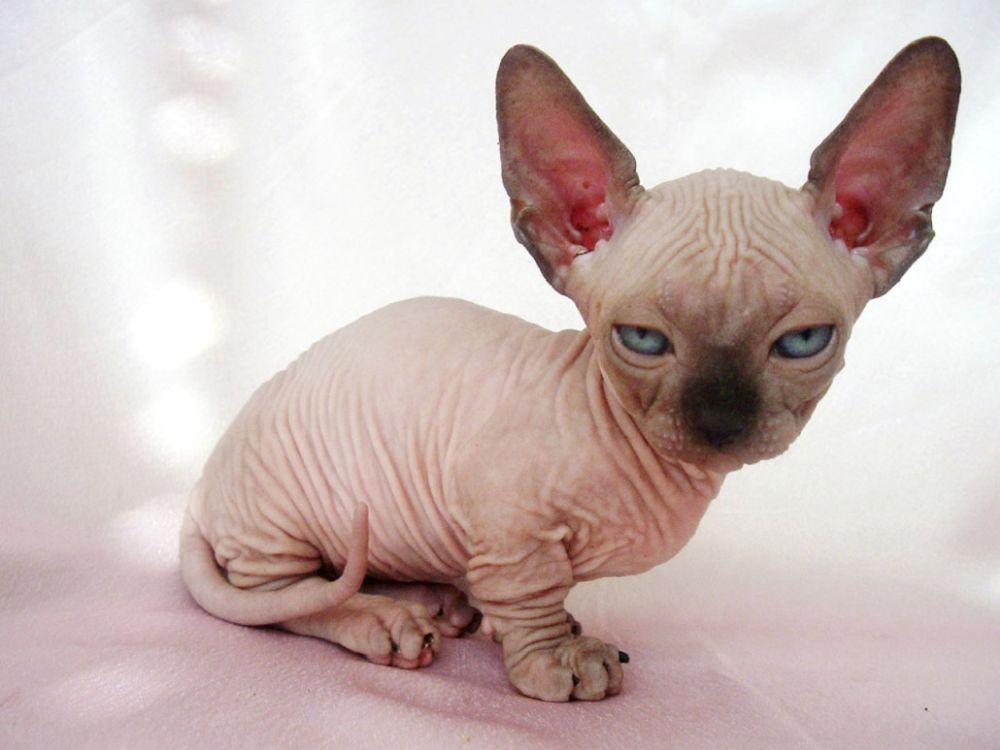 Pisica Minskin